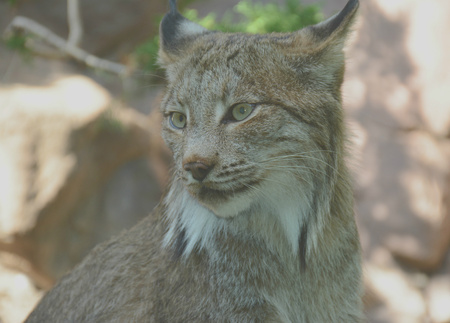 engaging: Engaging shaded portrait of a Canada lynx.