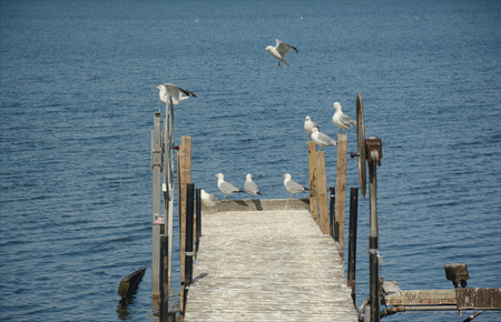 gathered: Ring-billed seagulls gathered on a lake boat landing.