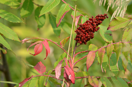 changing color: Sumac leaves changing color and ripened sumac fruit.