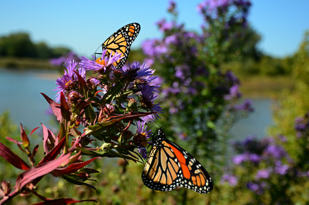 Two monarch butterflies taking nectar from blossoms.
