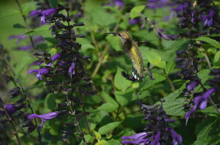 ruby throated: Ruby throated hummingbird approaching flowers. Stock Photo