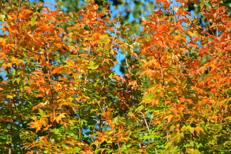 tree canopy: Bright autumn view of maple tree canopy colors. Stock Photo