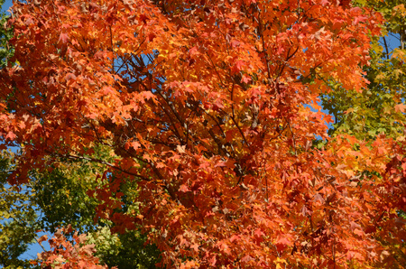 blazing: Peak of autumn blazing orange maple highlights.