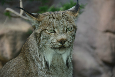 Engaging portrait of  a Canada lynx in a zoo exhibit.