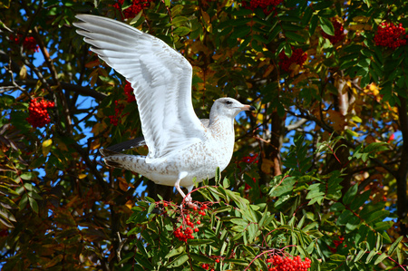 shorebird: A gull perched on a tree stretching out its wings.