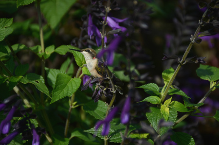 ruby throated: Ruby throated hummingbird resting on garden foliage.