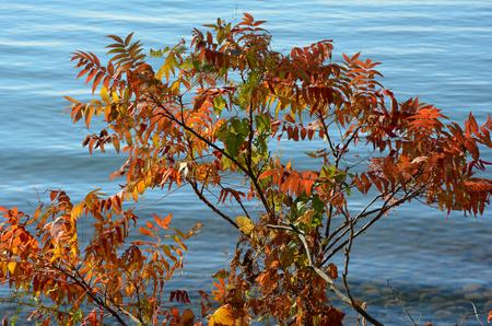 lakeshore: Autum colored sumac foliage at edge of a lakeshore. Stock Photo