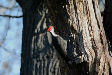 partially: Partially shaded pileated woodpecker on a tree trunk. Stock Photo