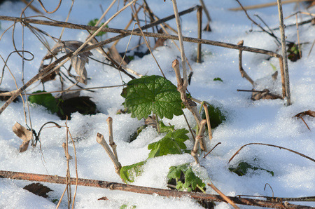 emerged: Winter capture of green leaves emerged thru snow.