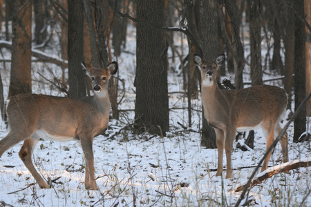 doe: Winter view on two alert doe deer standing in a forest. Stock Photo
