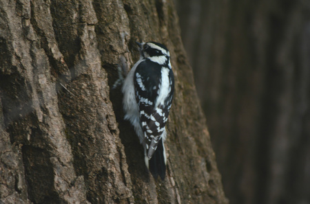 positioned: Hairy woodpecker tightly positioned on a tree trunk. Stock Photo