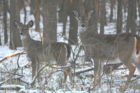 whitetail: Doe and fawn whitetail deer standing in a forest.