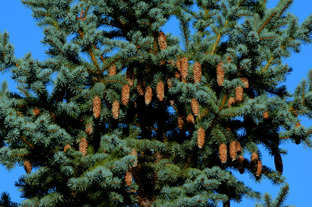 Bright vista of cones hanging from a blue spruce tree.