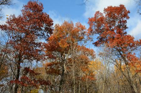 upland: Autumn foliage variations among upland forest trees.