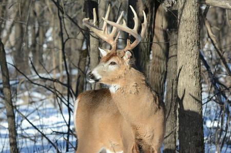 venado cola blanca: Whitetail deer buck standing in  a winter woodland.
