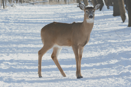 whitetail: Whitetail Deer Doe Standing On Snow