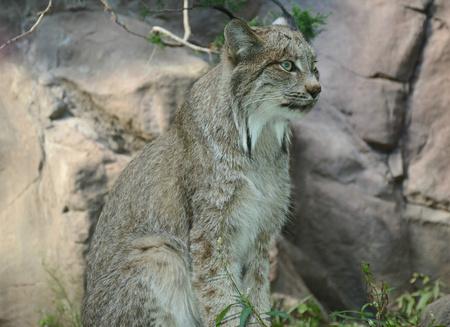 minnesota: Canada Lynx Sitting On A Rock At Minnesota Zoo