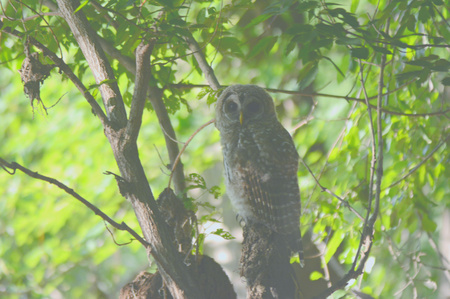 barred: Shaded Barred Owl Perched On A Tree Stump
