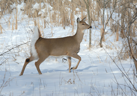 whitetail: Whitetail Doe Running Thru Snow Covered Meadow