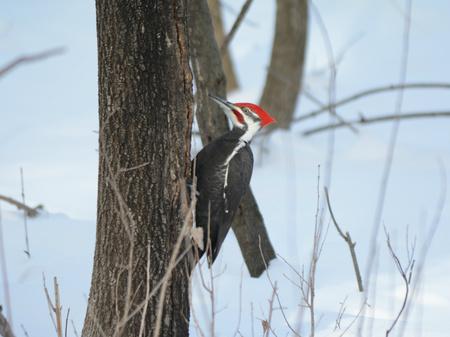 Pileated Woodpecker Climbing Tree Trunk In Winter Banco de Imagens