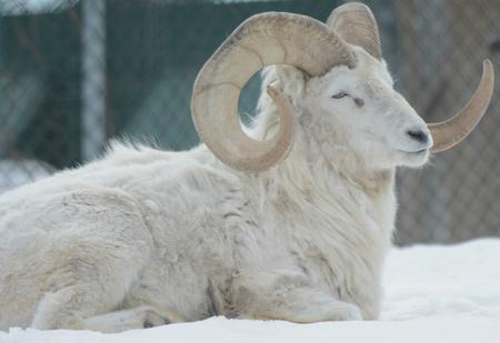 cameo: Winter Dall Ram Cameo Stock Photo
