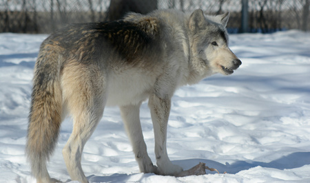 timber wolf: Gray Timber Wolf Standing In A Winter Environment