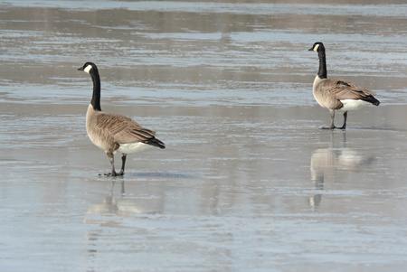 partially: Canadian Geese Walking Across Partially Frozen Lake