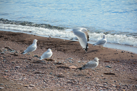 north shore: Ring Billed Gulls On North Shore Of Lake Superior, MN