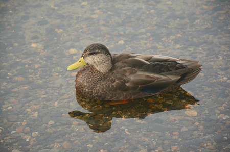shallow: American Black Duck Resting In Shallow Water