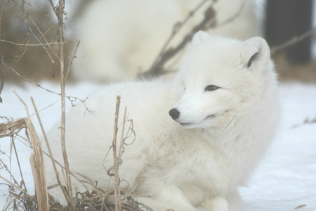 gazing: Gazing Arctic Fox In A Winter Setting