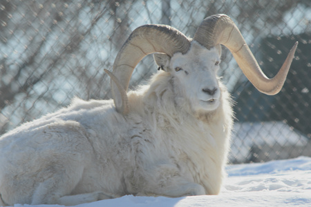 positioned: Dall Sheep Ram Positioned On Snow Covered Ground Stock Photo