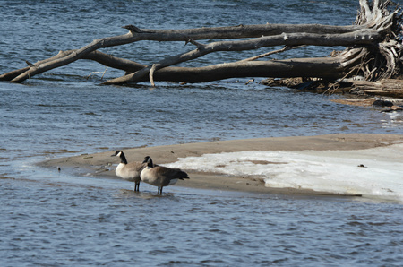mississippi: Pair Of Canada Geese In Mississippi River Shallows