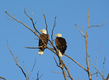 perching: Pair of bald eagles perching on bare tree branches.