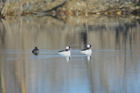 drakes: Bufflehead ducks swimming on a placid pond. Stock Photo
