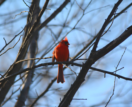 Shaded cardinal silently perching on a bare branch.