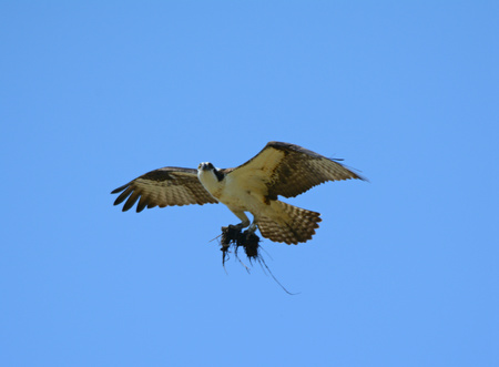 carrying: Osprey flying overhead carrying nesting material.