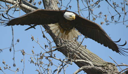 Bald eagle departing from a tall tree canopy.