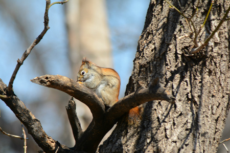 Young red squirrel feeding in the cleft of a tree trunk. Stock Photo