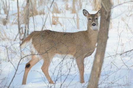venado cola blanca: venado cola blanca cierva de pie en un pantano cubierto de nieve.