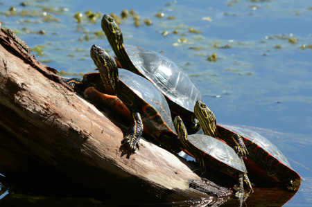 sunning: Group of painted turtles sunning on a large log.