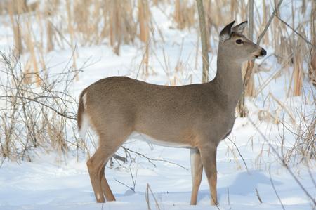venado cola blanca: Perfil del venado de cola blanca gama de pie todavía en la nieve.