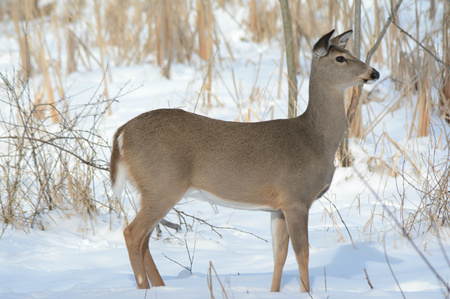 whitetail: Profile of whitetail deer doe standing still in snow.