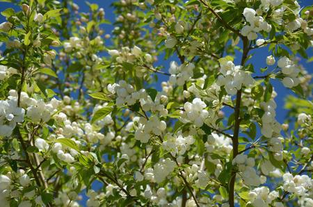 crab apple tree: White blossoming crab apple tree. Stock Photo