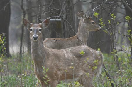 venado cola blanca: Dos jóvenes dólares de los ciervos de cola blanca en un bosque sombreado.