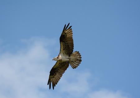 Osprey flying high across a bright sunny sky.