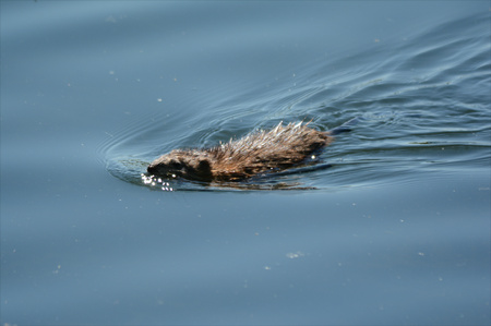 placid: Muskrat swimming swiftly thru a placid pond. Stock Photo