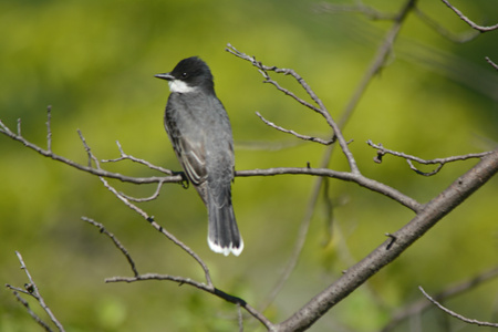 Eastern kingbird perched on a small bare tree branch.