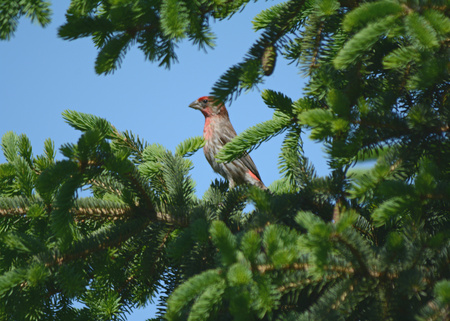 boughs: Male house finch perching among evergreen boughs. Stock Photo