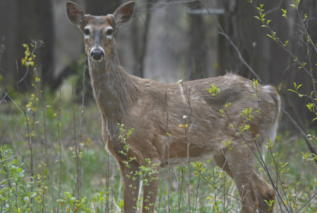 whitetail buck: Solitary whitetail buck deer standing in shaded forest.