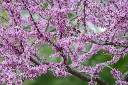 redbud: Spring garden blossoming redbud tree. Stock Photo